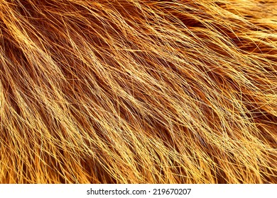 Yellow and brown colored raccoon fur texture