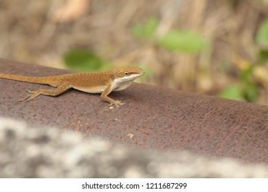 Yellow brown lizard chameleon on a metal pipe
