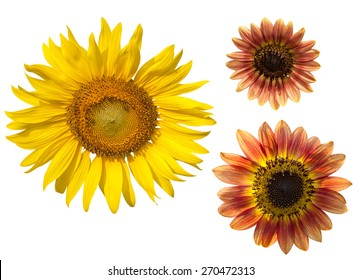yellow and brown sunflower on white background.clipping path
