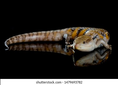 A yellow, brown and white striped blue tongue skink laying on a black mirror with its tail curled up around it and its reflection visible below it.