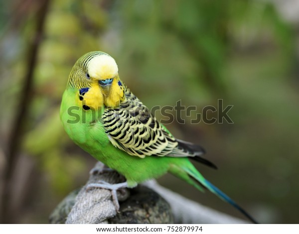 yellow budgerigar whistle