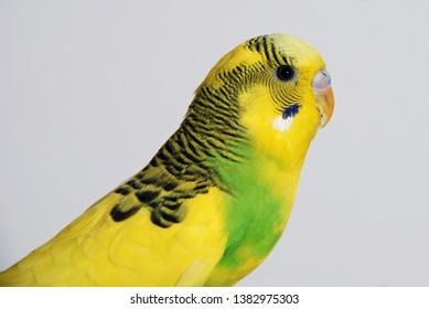 Yellow Budgie young male portrait