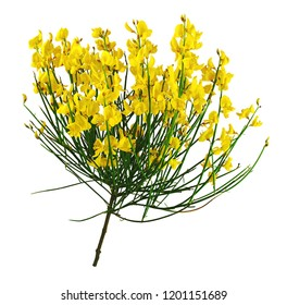 Yellow bunch of broom, isolated on white background.