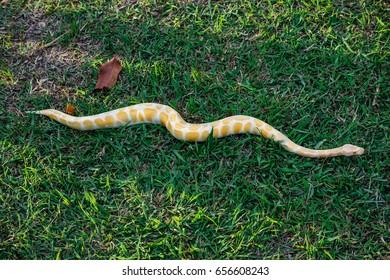 Yellow Burmese Python wind its way through the grass.