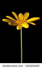 yellow bush daisy flower