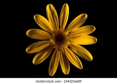 yellow bush daisy flower closeup details