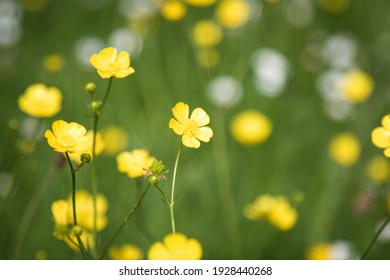 yellow butter cup flowers in meadow