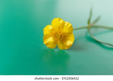 Yellow buttercup flower with a thin green stem on a green background