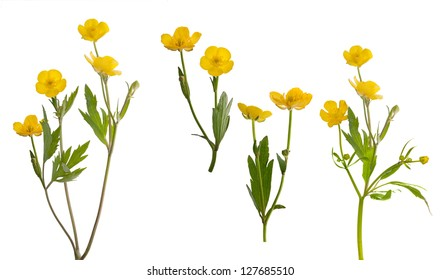 yellow buttercup flowers collection isolated on white background