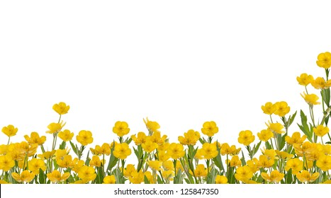 yellow buttercup flowers isolated on white background