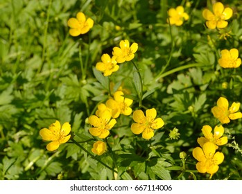 Yellow buttercup flowers. Flowers and seeds of the buttercup are on the right side of the frame. A blurred green background is on the left.