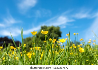 Yellow Buttercup flowers seen from ground level