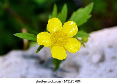 Yellow buttercup in the garden close-up