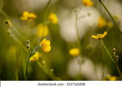 yellow buttercup in meadow