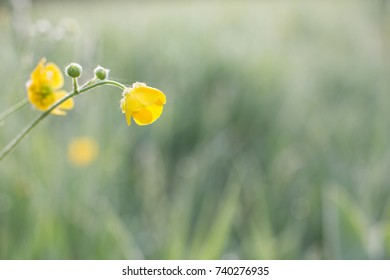 yellow buttercups covered with morning dew.