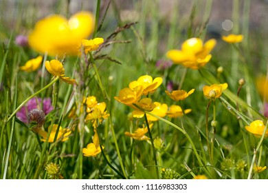 Yellow buttercups in a meadow