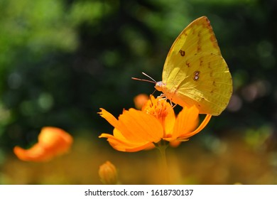 Yellow butterflies belonging to the Eurema hecabe species or also called the common grass yellow.A butterfly sucking a flower nectar in a garden as a form of symbiotic mutualism.