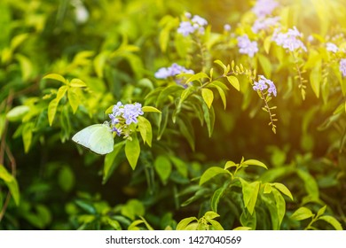 Yellow butterfly and Bouquet Purple flowers Vitex trifolia Linn or Indian Privet in the garden of the nature is herb in Thailand.