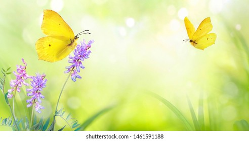 Yellow butterfly close-up macro on wild meadow violet flower in spring summer on a beautiful soft blurred light green background. Gentle artistic image of nature, copy space.