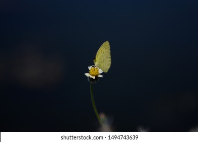 Yellow butterfly landed on the chamomile flower without petals. Isolated on black background bokeh.