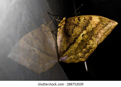 Yellow Butterfly with mirror reflection