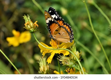 Yellow butterfly on blurry green blooming yellow cosmos flowers background