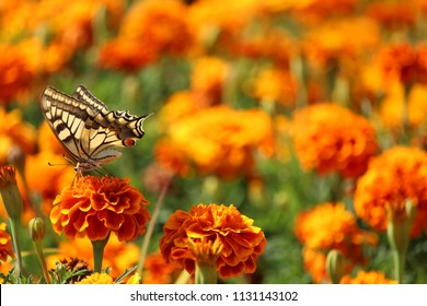 Yellow butterfly on flower, with field of carnations on background