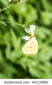 Yellow butterfly on flower in garden, Thailand