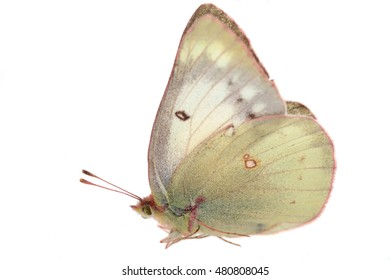 yellow butterfly on white
