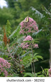 Yellow Butterfly on wildflowers in forest in West Virginia