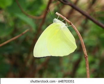Yellow butterfly stick to Dry branches of the forest