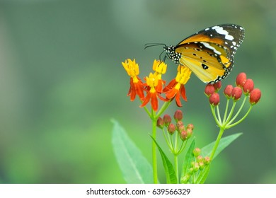 Yellow butterfly sucking nectar from flowers, At the same time pollinating.