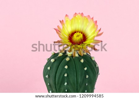Yellow Cactus Flower Blooming On Pastel Stock Photo Edit Now