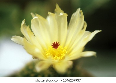 Yellow cactus flower close up