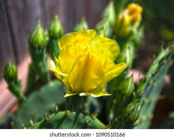 Yellow cactus rose in full bloom in the middle of several buds on cactus plants.