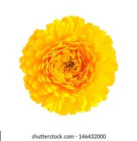 yellow  calendula flower isolated on white background