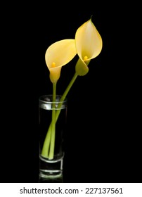yellow calla lily flower islolated on black background