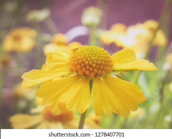 Yellow camomille flower.