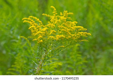 A yellow Canada Goldenrod flower blooming in a green field. Todmorden Mills Park, Toronto, Ontario, Canada.