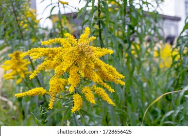 Yellow Canadian Goldenrod or Lat. Solidago canadensis.