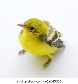 Yellow canary bird isolated on white background