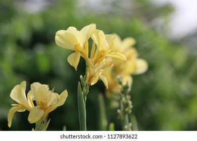 Yellow canna flowers in the natural background bright and beautiful petal with lights effect