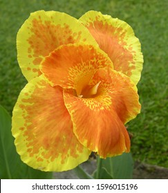 Yellow canna or canna lily flower