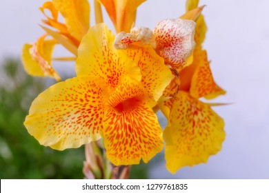 Yellow Canna Lily flowers closeup macro view with selective focus.