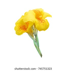 Yellow canna lily flowers is a symbol of Father's Day in Thailand.Isolated on white background with clipping path.