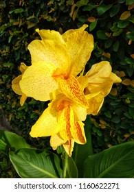 Yellow Canna plant flowers, Canna or canna lily is the only genus in the family Cannaceae.