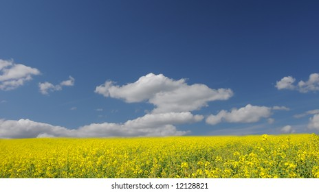 Yellow Canola field and deep blue sky