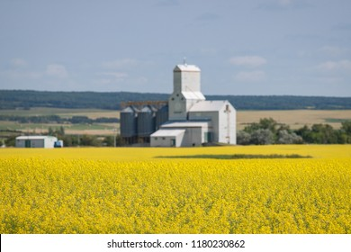 Yellow Canola Field with Wooden Grain Elevator in Distance