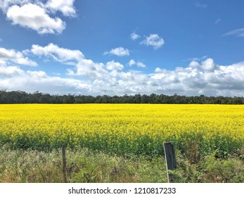 Yellow Canola fields with clouds and blue sky in background