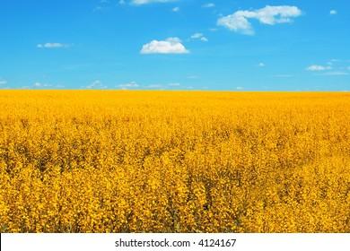 Yellow canola fields on the Alberta Prairies